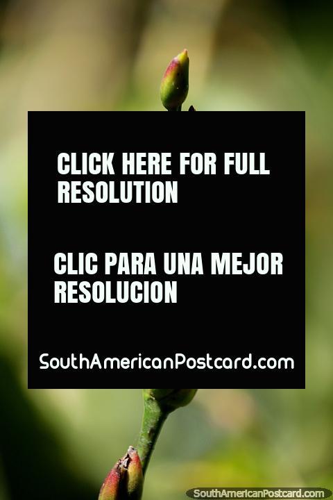 Las vainas de flores, disfrutan de las pequeñas cosas en la naturaleza, los colores y las formas, la Reserva Nacional Tambopata en Puerto Maldonado. (480x720px). Perú, Sudamerica.