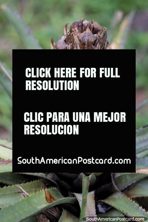 Planta exótica, parece un repollo, Reserva Nacional Tambopata en Puerto Maldonado. (480x720px). Peru, Sudamerica.