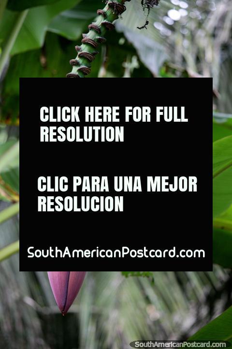Gran vaina púrpura de una palmera de plátano en el Amazonas en la Reserva Nacional Tambopata en Puerto Maldonado. (480x720px). Perú, Sudamerica.