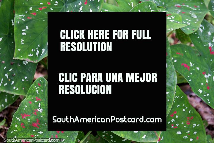 Hojas verdes grandes con manchas rosadas y blancas, flora en la Reserva Nacional Tambopata en Puerto Maldonado. (720x480px). Perú, Sudamerica.