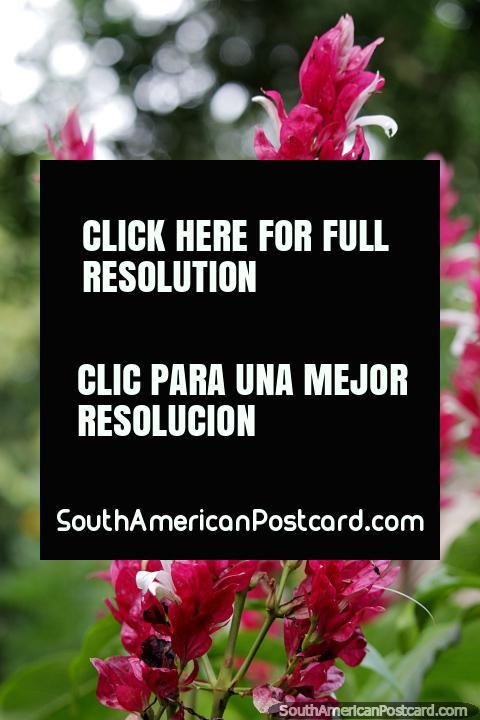 Hojas delgadas de papel rosa, parte de la hermosa flora de la Reserva Nacional Tambopata en Puerto Maldonado. (480x720px). Perú, Sudamerica.