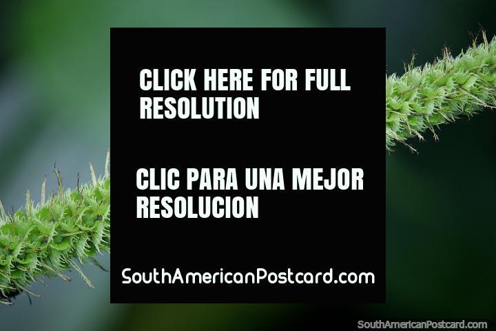 Finos detalles en la naturaleza, formación de plantas en espiral con pequeños pelos, Reserva Nacional Tambopata en Puerto Maldonado. (720x480px). Perú, Sudamerica.