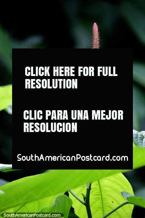 Pelos finos de color rosa bajo la luz del sol, naturaleza exótica en la Reserva Nacional Tambopata en Puerto Maldonado. (480x720px). Perú, Sudamerica.
