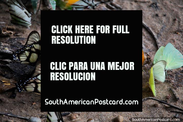 Mariposas amarillas, verdes, negras y blancas se alimentan de la humedad en el suelo, Reserva Nacional Tambopata en Puerto Maldonado. (720x480px). Peru, Sudamerica.