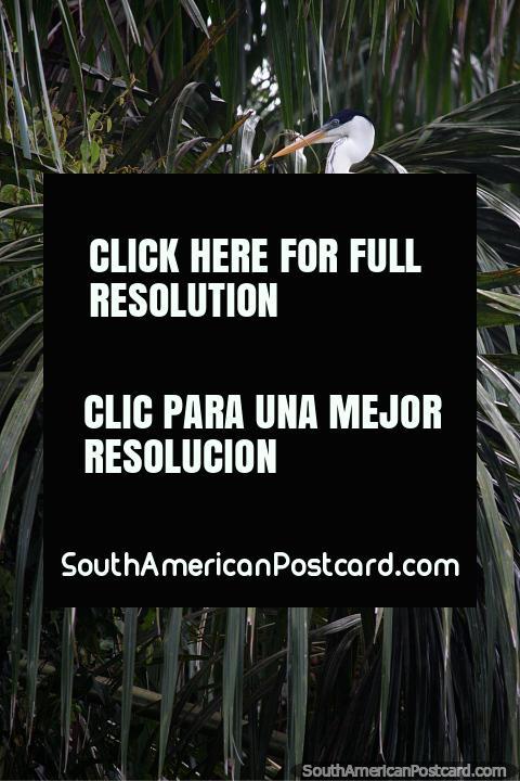 White and black Heron sits upon a flax plant around Sandoval Lake in Puerto Maldonado. (480x720px). Peru, South America.