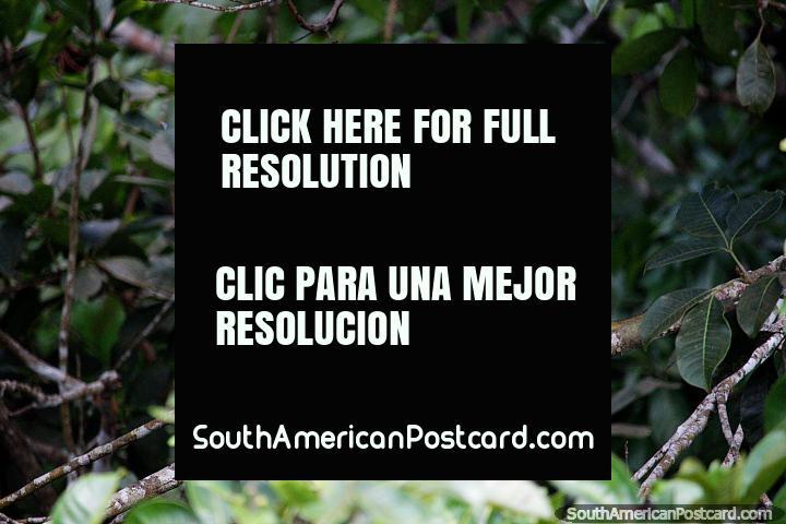 Small playful monkey in the trees around Sandoval Lake in Puerto Maldonado. (720x480px). Peru, South America.