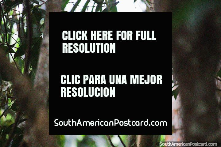 El ave Hoatzin tiene una dieta de 82% de hojas, 10% de flores y 8% de frutas, Reserva Nacional Tambopata en Puerto Maldonado. (720x480px). Peru, Sudamerica.