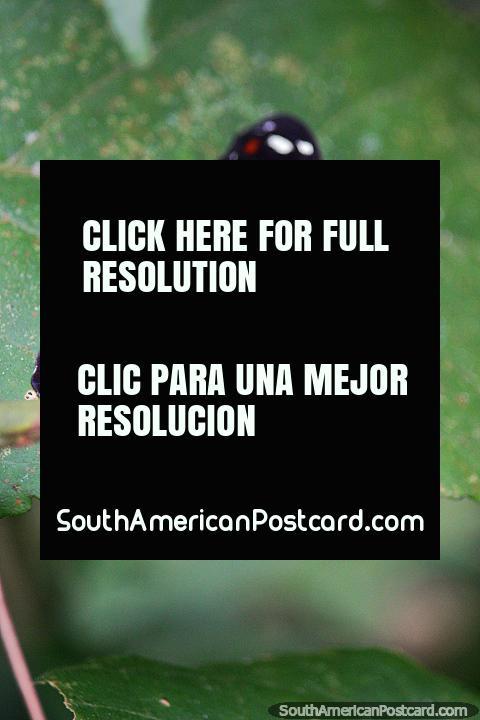 Black butterfly with white and red markings, catonephele acontius, Puerto Maldonado. (480x720px). Peru, South America.