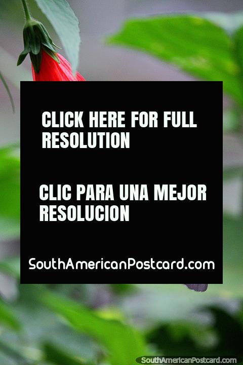 Mariposa sobre una flor roja en la Granja de Mariposas Tambopata, heraclides anchisiades, Puerto Maldonado. (480x720px). Perú, Sudamerica.