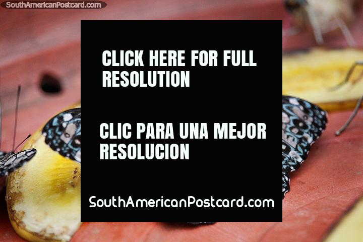 Borboleta com um modelo assombroso e intricado, hamadryas feronia, Porto Maldonado. (720x480px). Peru, América do Sul.