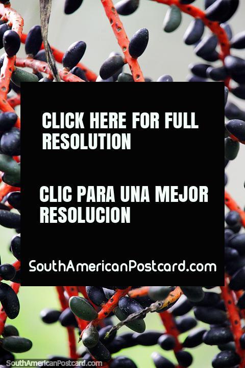 Black pods on a red vine, interesting plant and flora in Puerto Maldonado. (480x720px). Peru, South America.