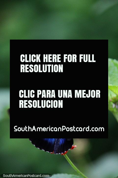 Mariposas azules, blancas y negras bonitas, heliconius sara, Puerto Maldonado. (480x720px). Peru, Sudamerica.