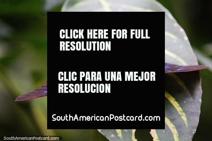 Black butterfly with blue markings, archeoprepona demophon muson, Puerto Maldonado. (720x480px). Peru, South America.