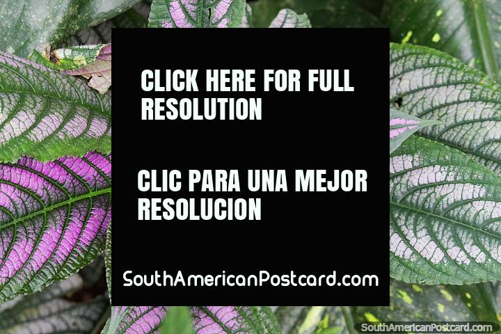 Green and purple leaves, exotic flora in the gardens of Tambopata Butterflies in Puerto Maldonado. (720x480px). Peru, South America.