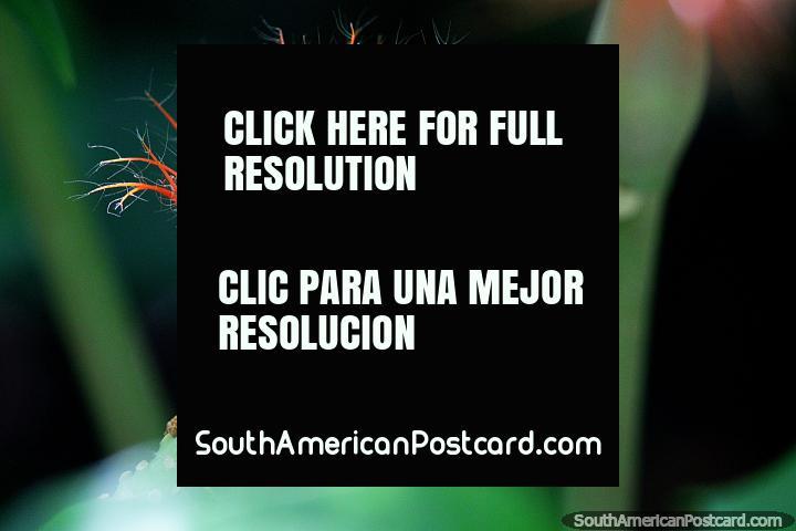 Hermosa planta exótica con finos pelos de color naranja y blanco en Puerto Maldonado. (720x480px). Perú, Sudamerica.
