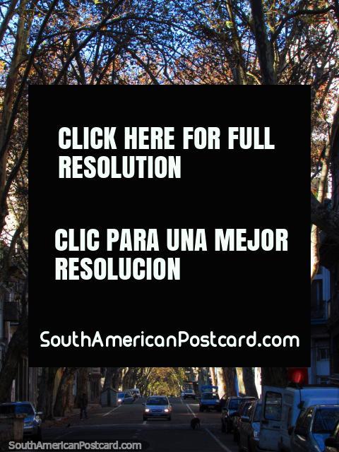 Una calle sombreada bordada de árboles hermosa en Montevideo. (480x640px). Uruguay, Sudamerica.