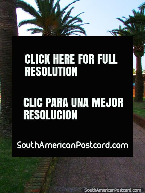 Palm trees around the outside of Plaza General Artigas in Punta del Este. (480x640px). Uruguay, South America.