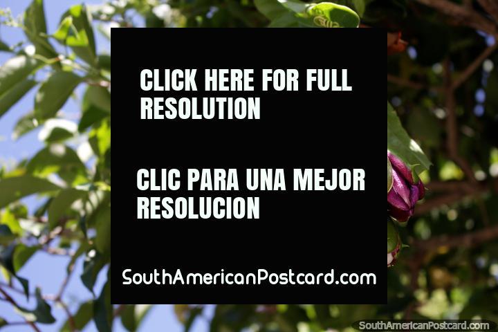 A grande flor purpúrea, amarela e vermelha abre-se acima da rua na Colônia. (720x480px). Uruguai, América do Sul.