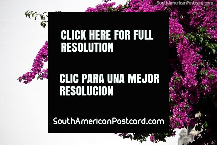 As flores de magenta ficam fora de uso acima da rua na Colônia, um lugar muito colorido. (720x480px). Uruguai, América do Sul.