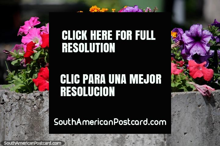 Flores rojas, rosadas, anaranjadas y púrpuras, de colores brillantes en grandes macetas en el puerto de yates en Colonia. (720x480px). Uruguay, Sudamerica.