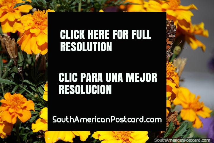Mariposa visita algunas flores de color naranja y amarillo brillante en el puerto de yates en Colonia. (720x480px). Uruguay, Sudamerica.