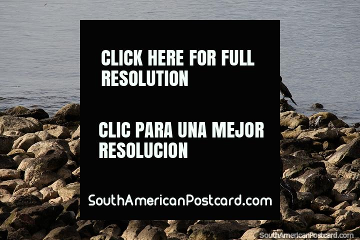 Pair of brown ducks on the rocks along the waterfront in Piriapolis. (720x480px). Uruguay, South America.