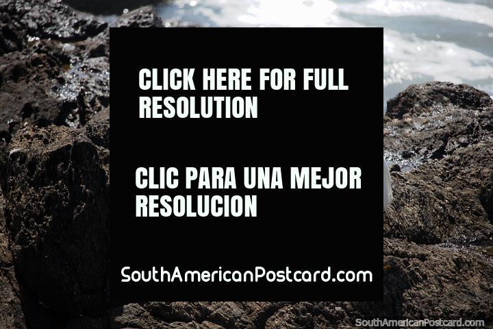 Cigüeña blanca en las rocas junto al mar en la playa Brava en Punta del Este. (720x480px). Uruguay, Sudamerica.