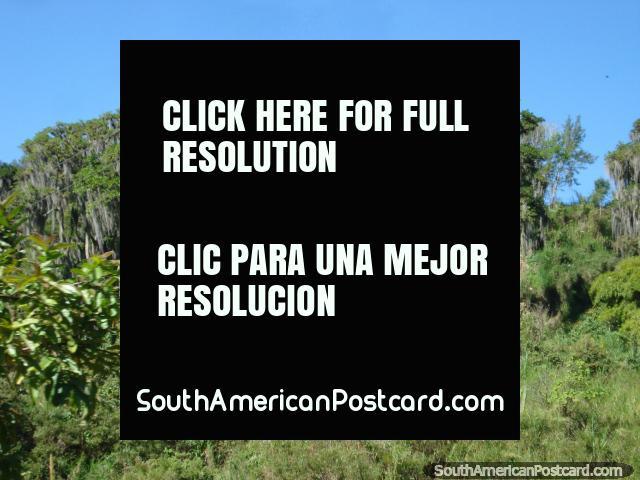 Árboles barbudos en la carretera de Transandina de Mérida. (640x480px). Venezuela, Sudamerica.