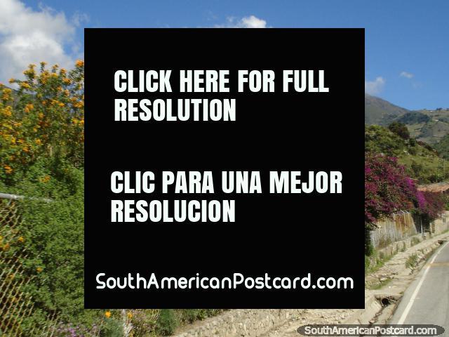 Purple and yellow flowers, green trees and mountains, El Paramo, Merida. (640x480px). Venezuela, South America.