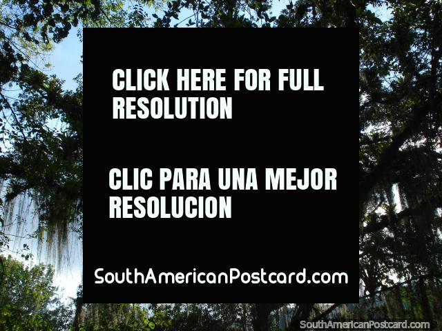 Árboles barbudos todos alrededor de brillo en el sol en los jardines botánicos de Mérida. (640x480px). Venezuela, Sudamerica.