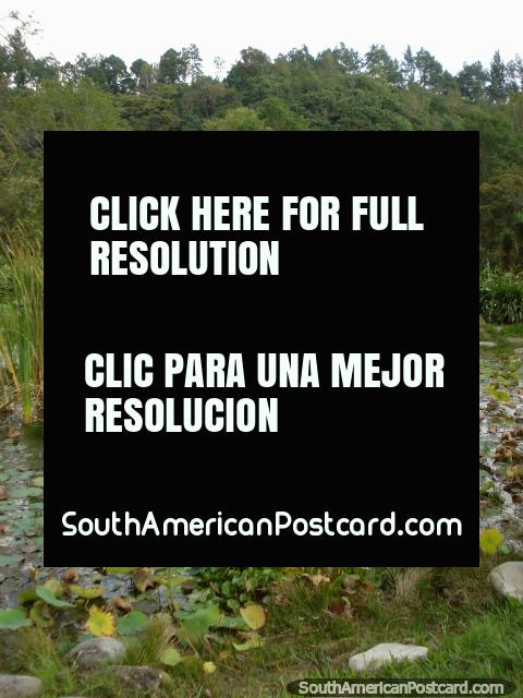 Pantano, hojas del lirio y rocas en Jardin Botanico de Merida. (480x640px). Venezuela, Sudamerica.