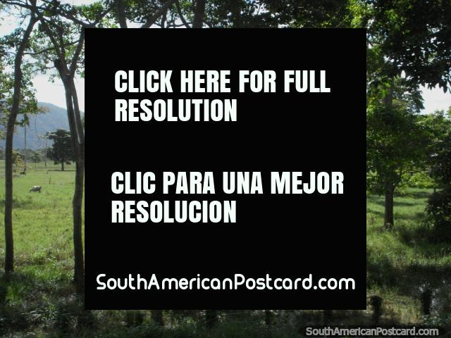 Trees and farmland between Yaracal and Moron. (640x480px). Venezuela, South America.