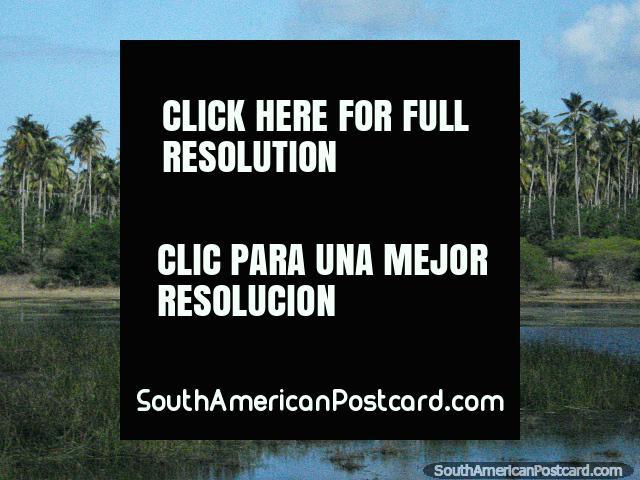 Grosso verde do pântano e as palmeiras entre Tucacas e Moron. (640x480px). Venezuela, América do Sul.