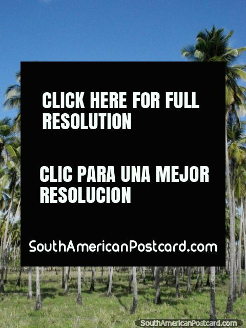 As verdes grossas das palmeiras na costa do norte. (480x640px). Venezuela, América do Sul.