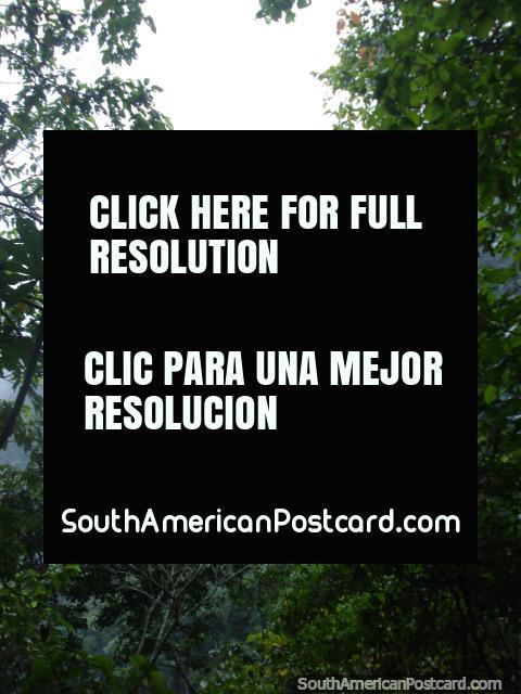The cloud forest in Parque Nacional Henri Pittier. (480x640px). Venezuela, South America.