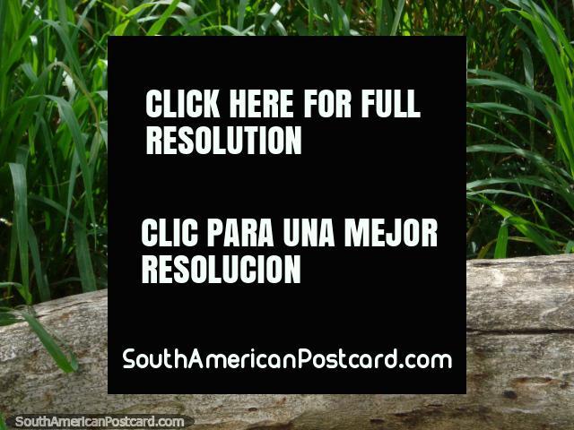Uma iguana muito pequena empurra a sua cabeça de um log em Parque Cachamay, Cidade Guayana. (640x480px). Venezuela, América do Sul.
