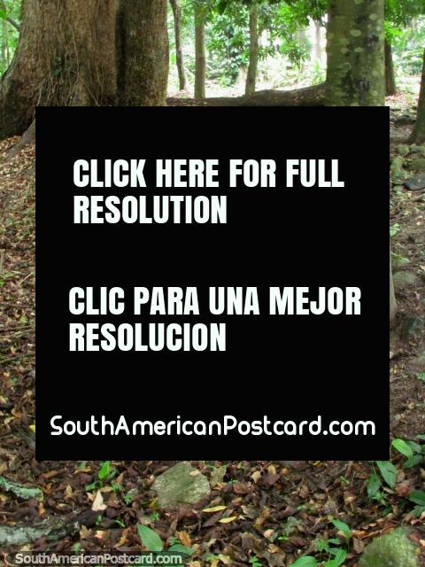 The forest floor and brown leaves at Park El Fuerte - San Felipe. (480x640px). Venezuela, South America.