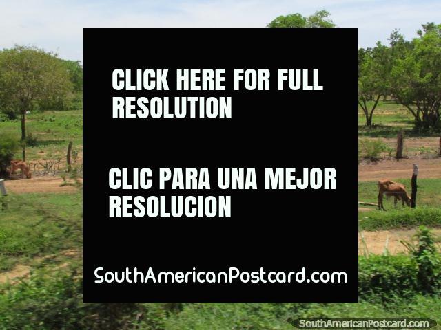 Calves graze in the vast green countryside between Maracaibo and Coro. (640x480px). Venezuela, South America.
