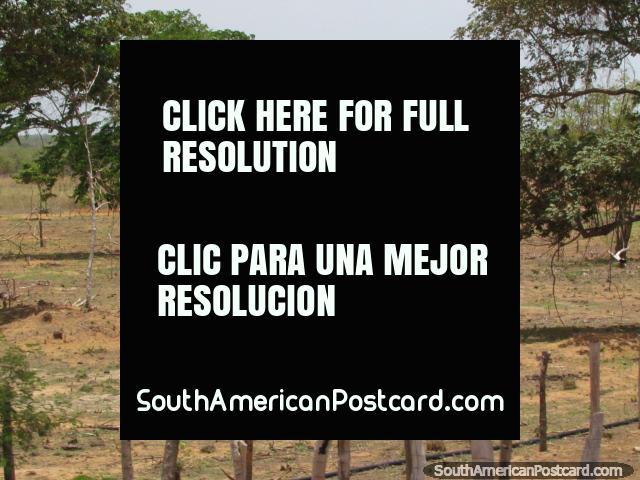 El caballo pasta en el terreno de agricultura áspero entre Maracaibo y Coro. (640x480px). Venezuela, Sudamerica.