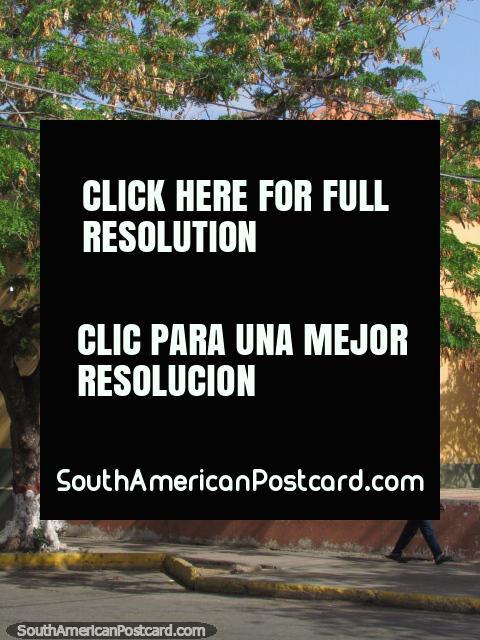 Orange facade with a big window and a big leafy tree, man walks past in Coro. (480x640px). Venezuela, South America.