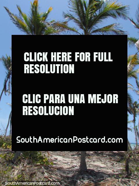 A garden of palm trees between beaches at Cajo Sombrero, Morrocoy National Park. (480x640px). Venezuela, South America.