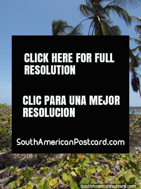 Wandering around between beaches around palms at Cajo Sombrero, Morrocoy National Park. (480x640px). Venezuela, South America.