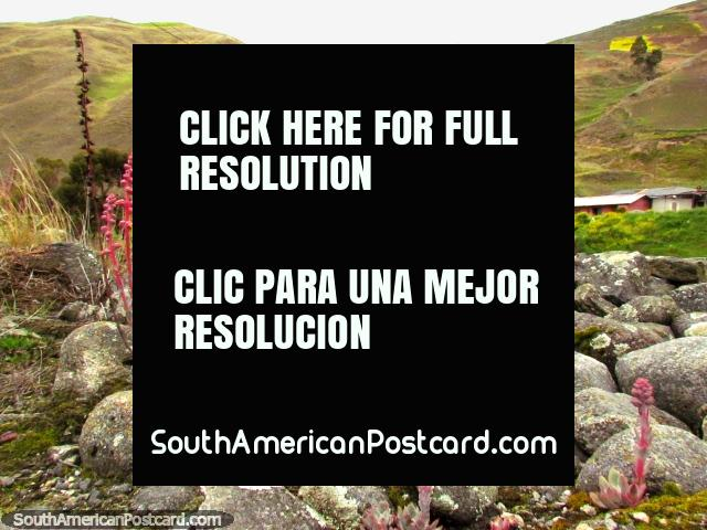 Pink mountain plants embedded in the rock around San Isidro de Apartaderos. (640x480px). Venezuela, South America.