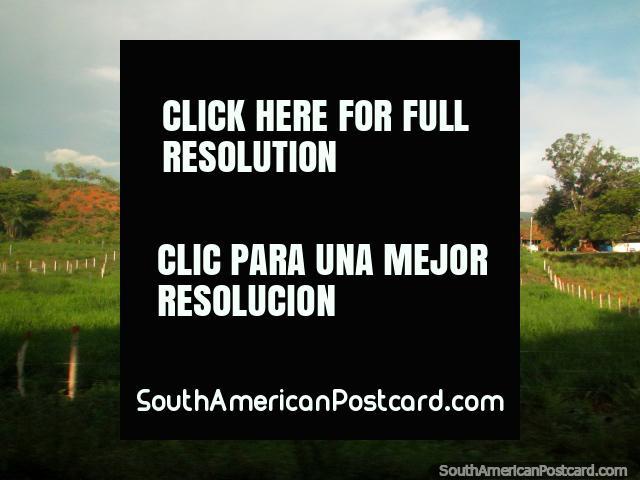 Árbol solitario en un prado de ovejas en el campo al sur de Maracaibo. (640x480px). Venezuela, Sudamerica.